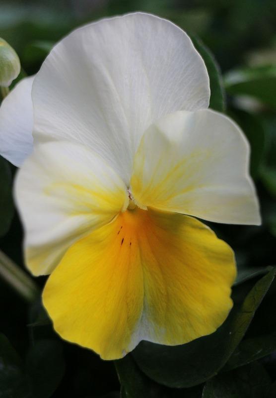 パンジーの花 白と黄色 2 2 4