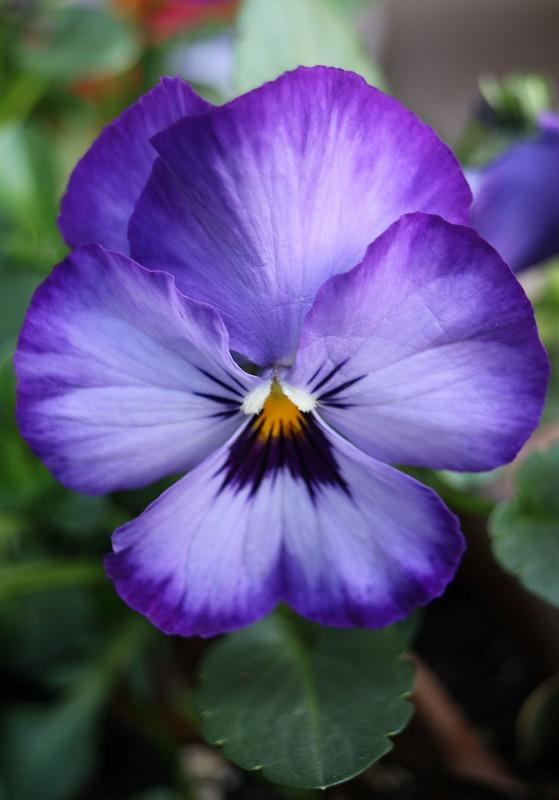 パンジーの花一輪 紫 2 2 4