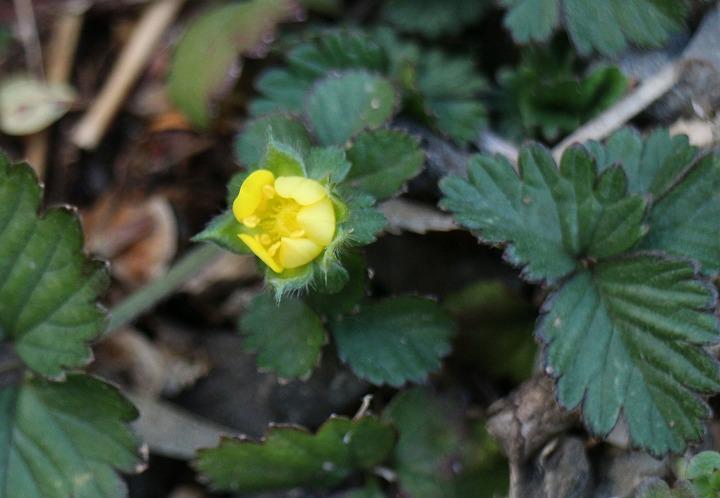 ヤブヘビイチゴの黄色い花 2 1 29