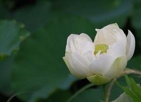夏の花 蓮