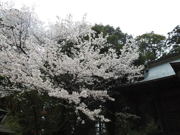 20200331 大覚寺~桜川市4