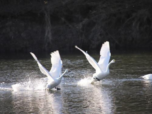 2羽の白鳥が・・・