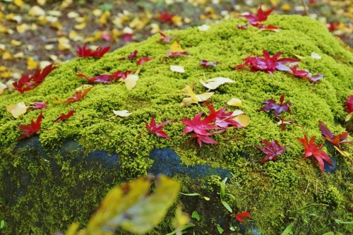 苔の緑とモミジの赤