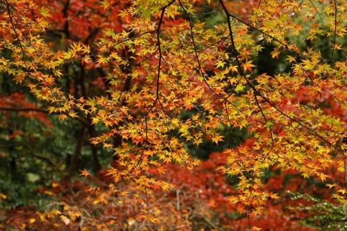 雨の中の紅葉