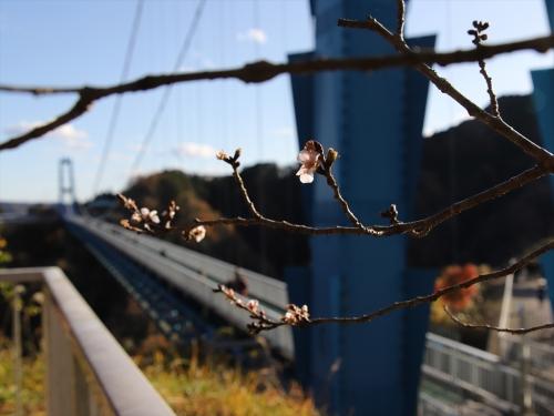 桜ごしの橋