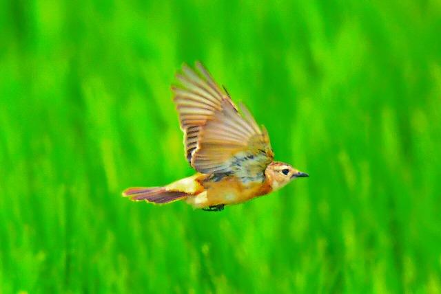 麦畑をバックにノビタキ 飛翔
