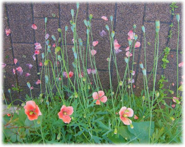 春けしの花