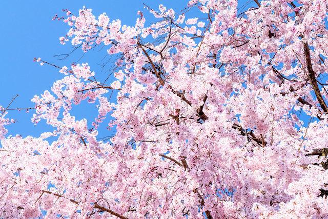20200316 桜