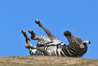 アフリカンサファリ シマウマ 背中がかゆい