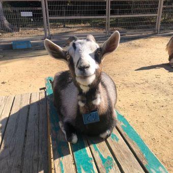 豊橋総合動植物公園(豊橋のんほいパーク)ヤギ
