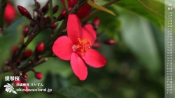 提琴桜 テイキンザクラ 沖縄 デスクトップカレンダー3月