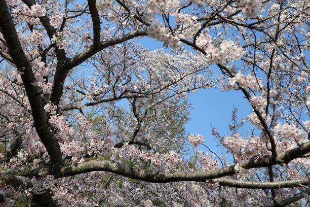 桜キャンバス2