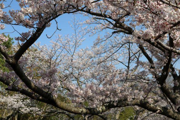 桜キャンバス3
