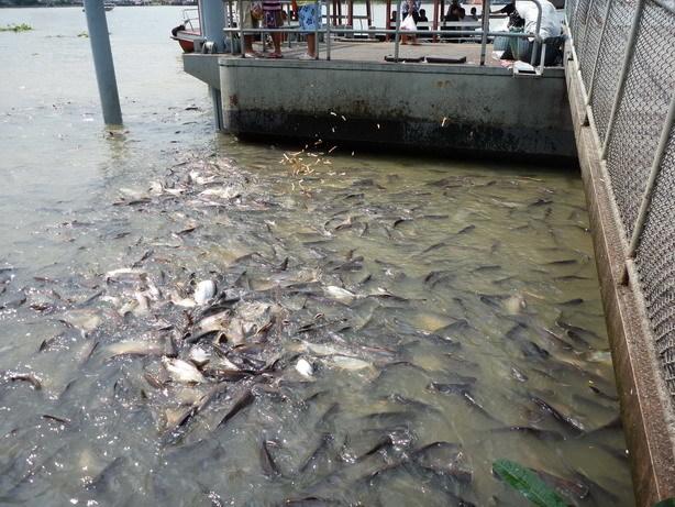 Thewet乗り場 ナマズのような魚がいっぱいいる_サイズ変更