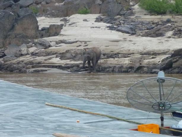 対岸の集落からゾウがメコンに水飲みに_サイズ変更