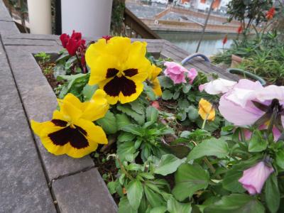 IMG_0365橋の袂の花壇パンジーの花_400