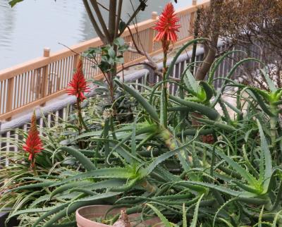 IMG_0364橋の袂の花壇アロエの花_400