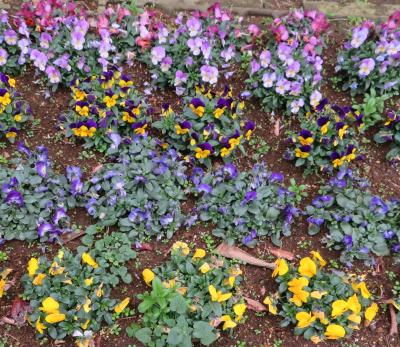 IMG_0370横長の花壇ビオラ_400