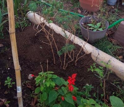 カナリーを抜いてマーガレットを植える
