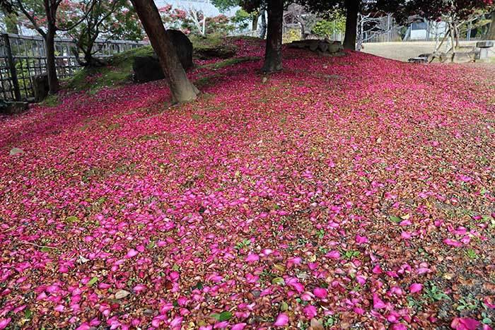 奈良公園 サザンカ1