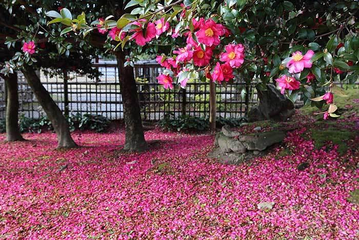 奈良公園 サザンカ2
