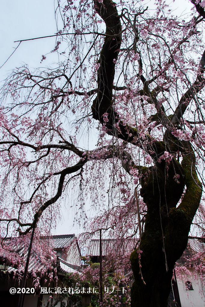 開花! 奈良・香芝市 専称寺(せんしょうじ) しだれ桜13