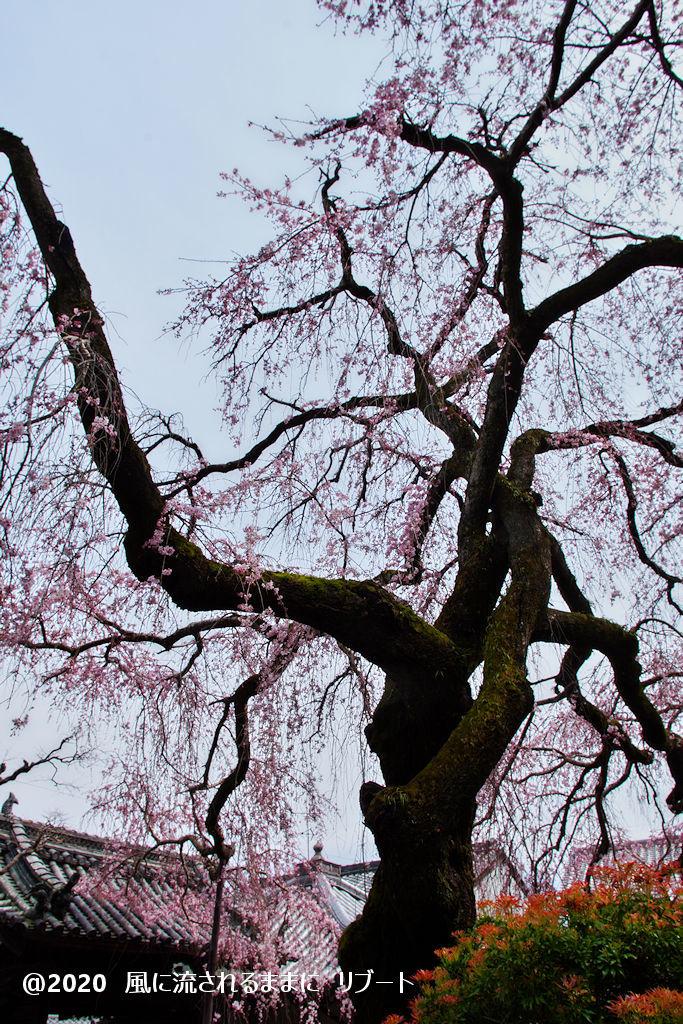 開花! 奈良・香芝市 専称寺(せんしょうじ) しだれ桜14
