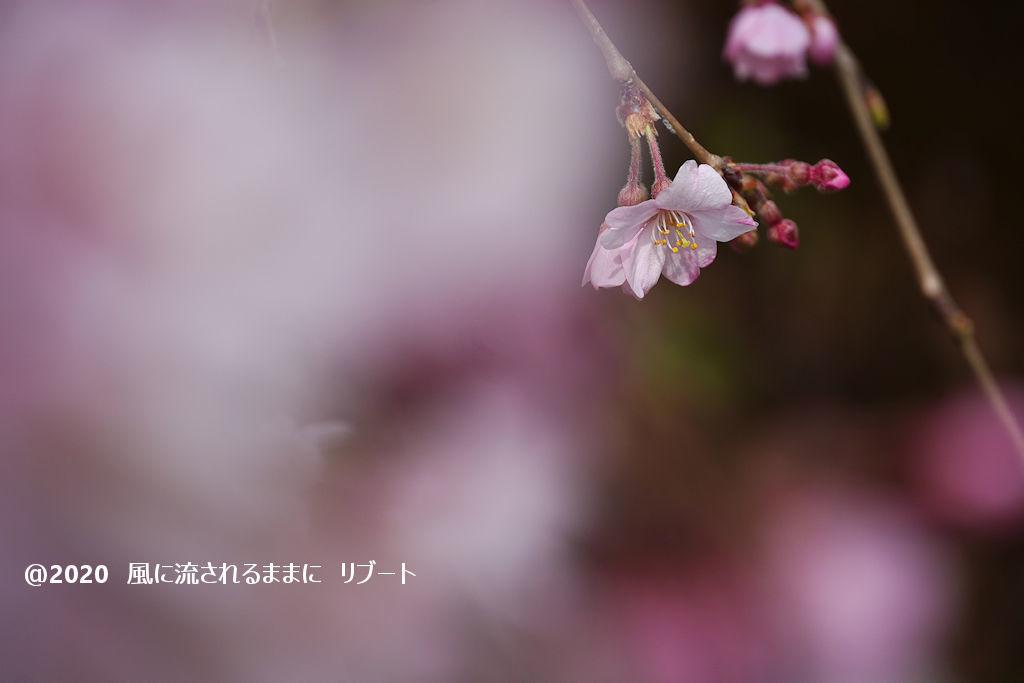 開花! 奈良・香芝市 専称寺(せんしょうじ) しだれ桜3