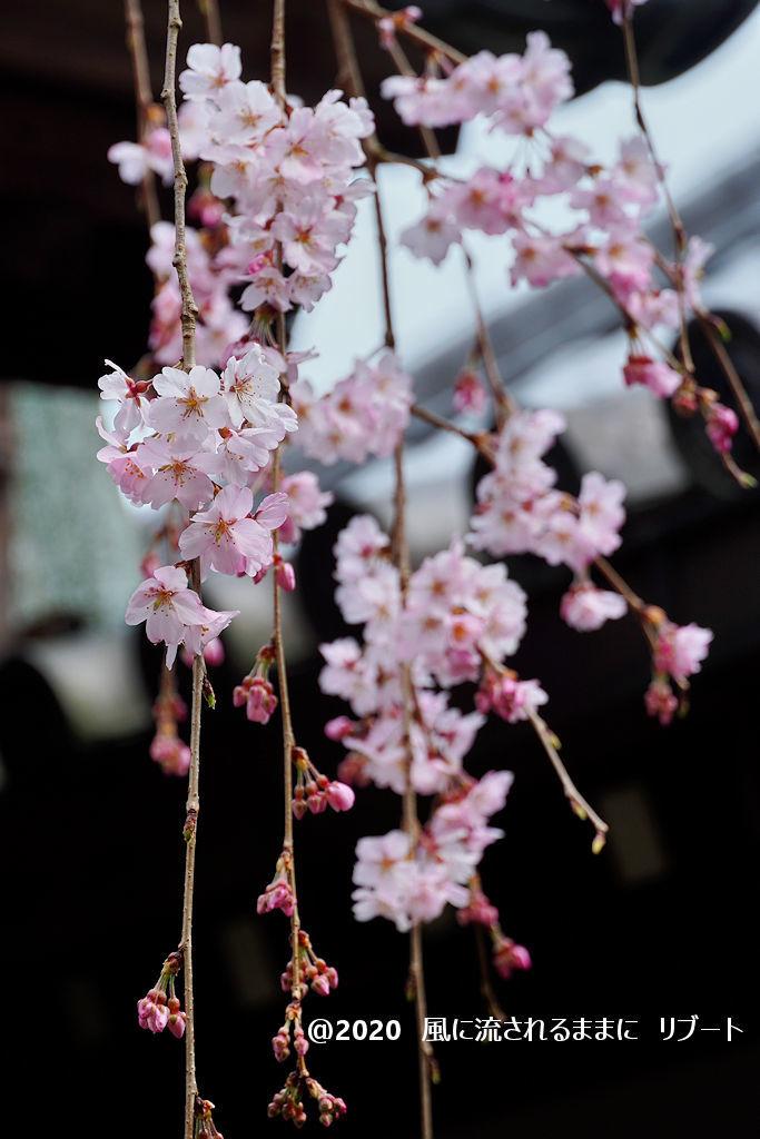 開花! 奈良・香芝市 専称寺(せんしょうじ) しだれ桜4
