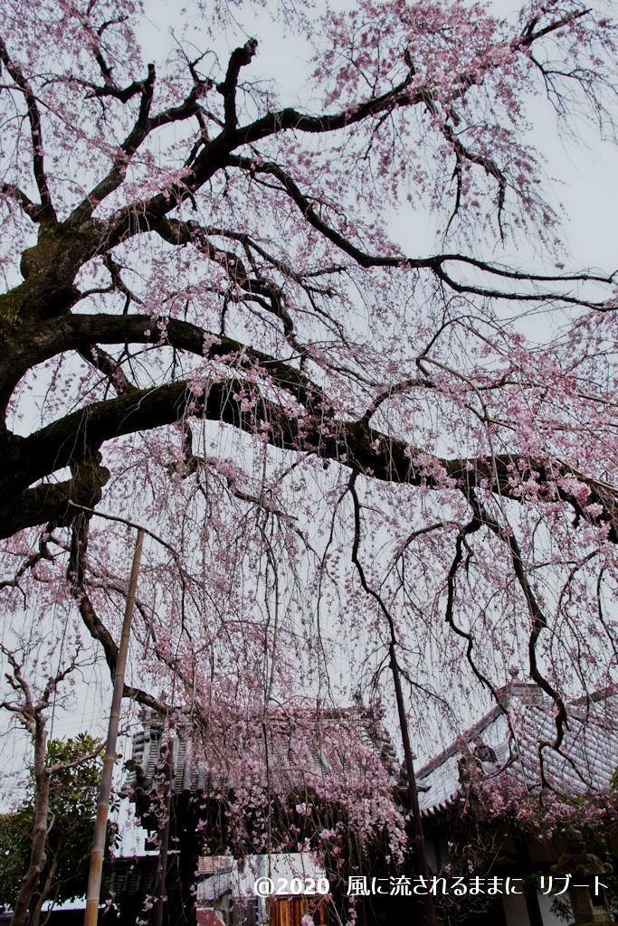 開花! 奈良・香芝市 専称寺(せんしょうじ) しだれ桜5