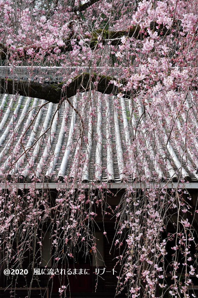 開花! 奈良・香芝市 専称寺(せんしょうじ) しだれ桜6