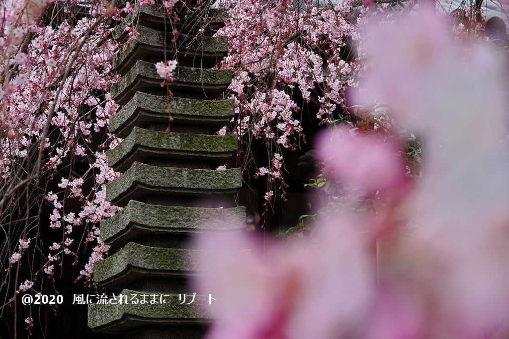 開花! 奈良・香芝市 専称寺(せんしょうじ) しだれ桜7