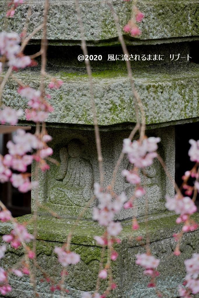 開花! 奈良・香芝市 専称寺(せんしょうじ) しだれ桜8