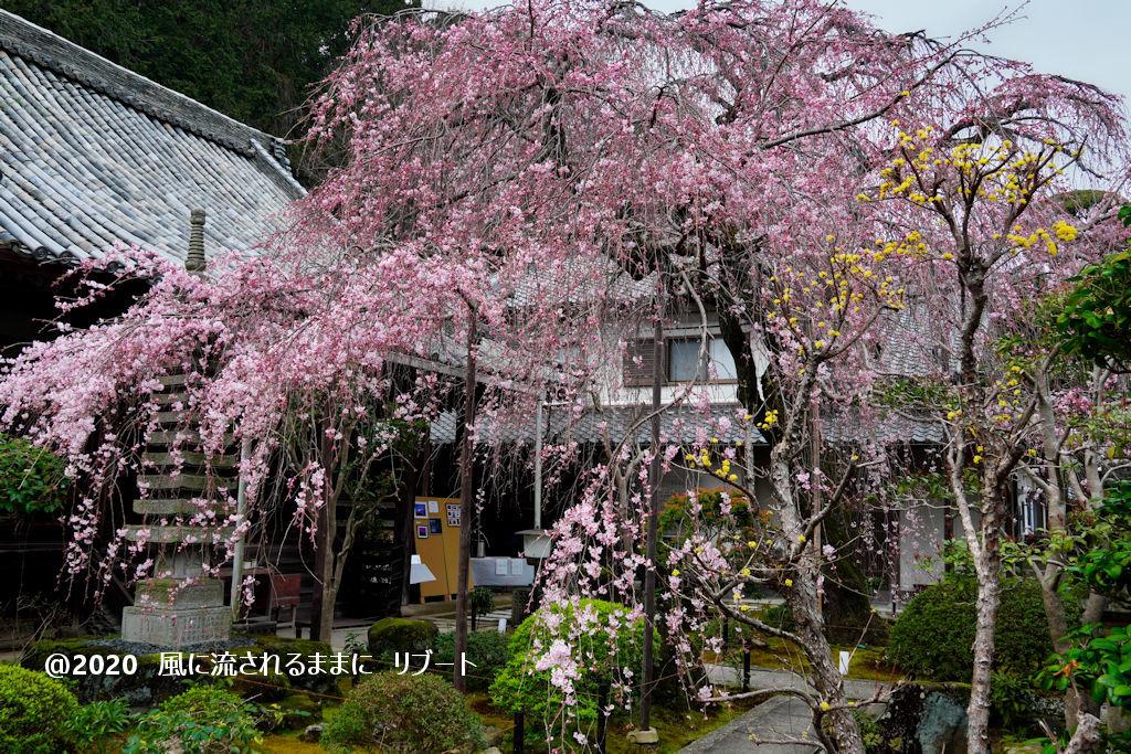 開花! 奈良・香芝市 専称寺(せんしょうじ) しだれ桜9