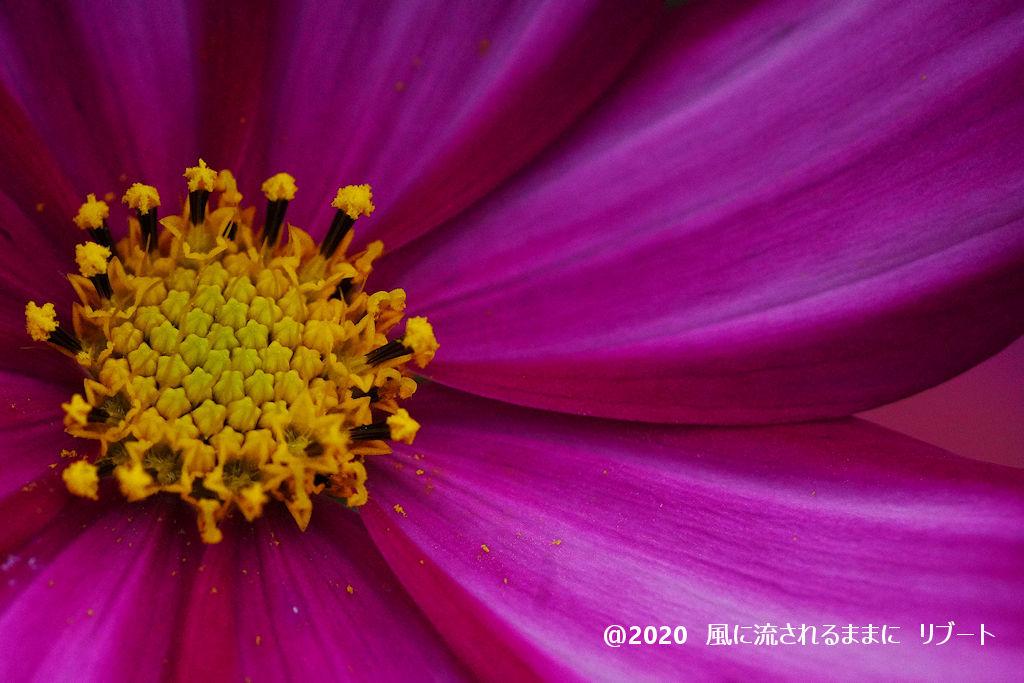 α6400とD FA MACRO 100mmF2.8 WRで撮った大阪・花の文化園のコスモス2
