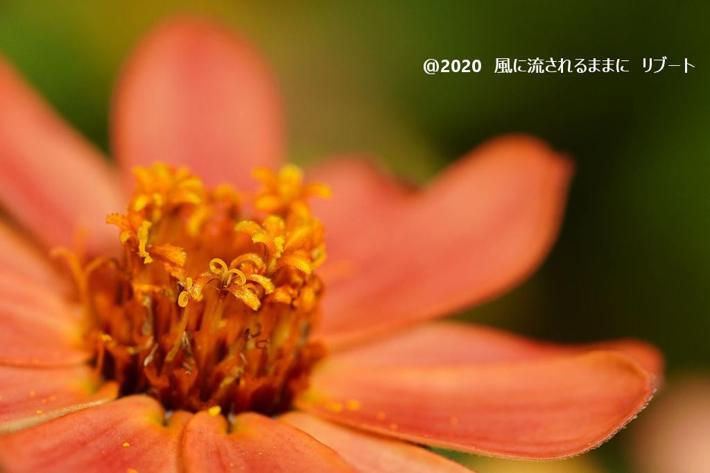 α6400とD FA MACRO 100mmF2.8 WRで撮った大阪・花の文化園のコスモス3
