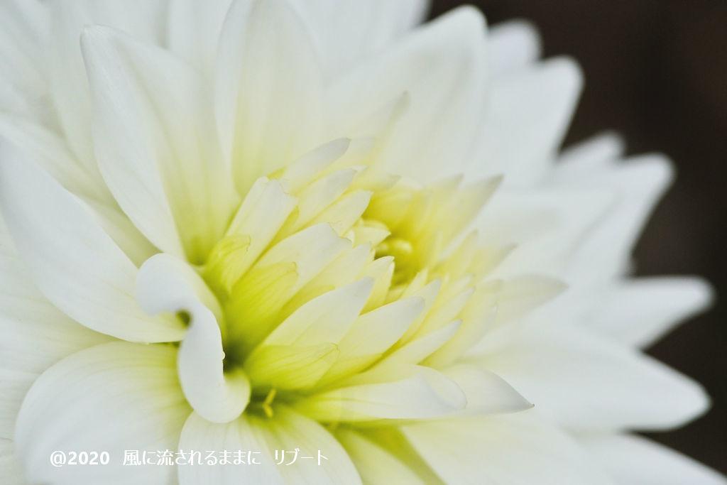 α6400とD FA MACRO 100mmF2.8 WRで撮った大阪・花の文化園のダリヤ1