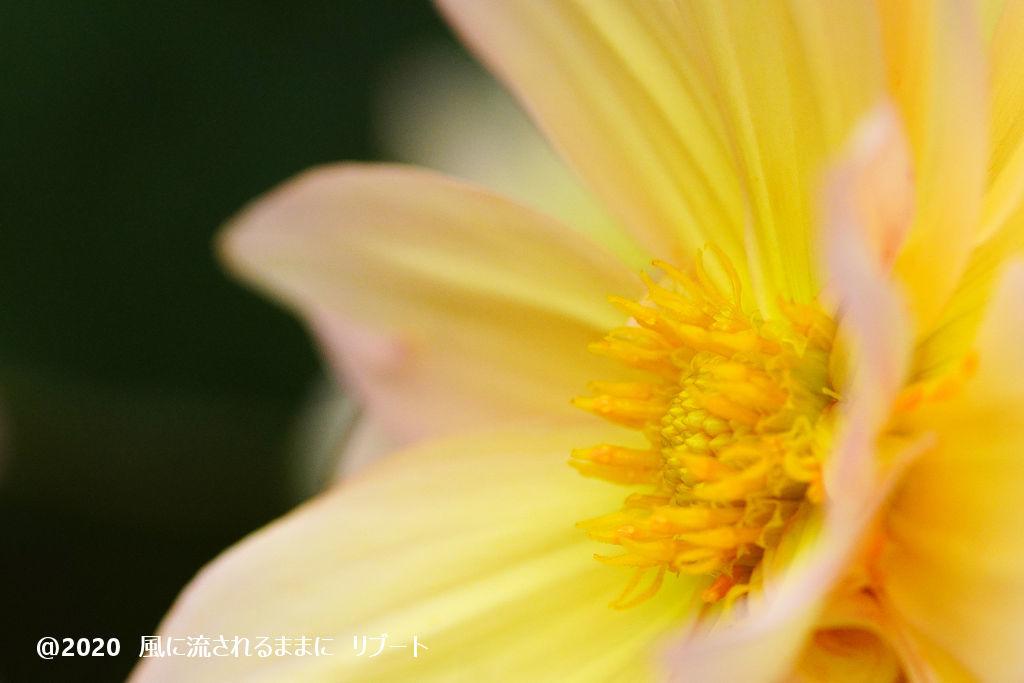α6400とD FA MACRO 100mmF2.8 WRで撮った大阪・花の文化園のダリヤ2