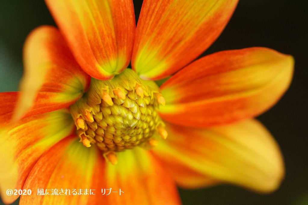 α6400とD FA MACRO 100mmF2.8 WRで撮った大阪・花の文化園のダリヤ3