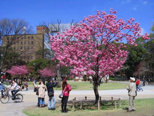 横浜公園緋桜