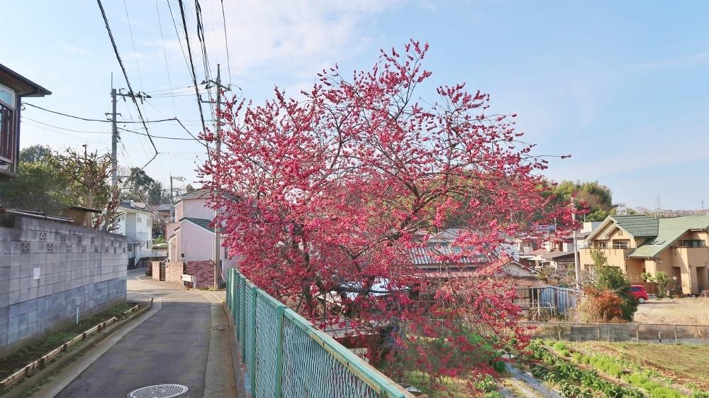 元石川町の八重寒緋桜 (1000x561)