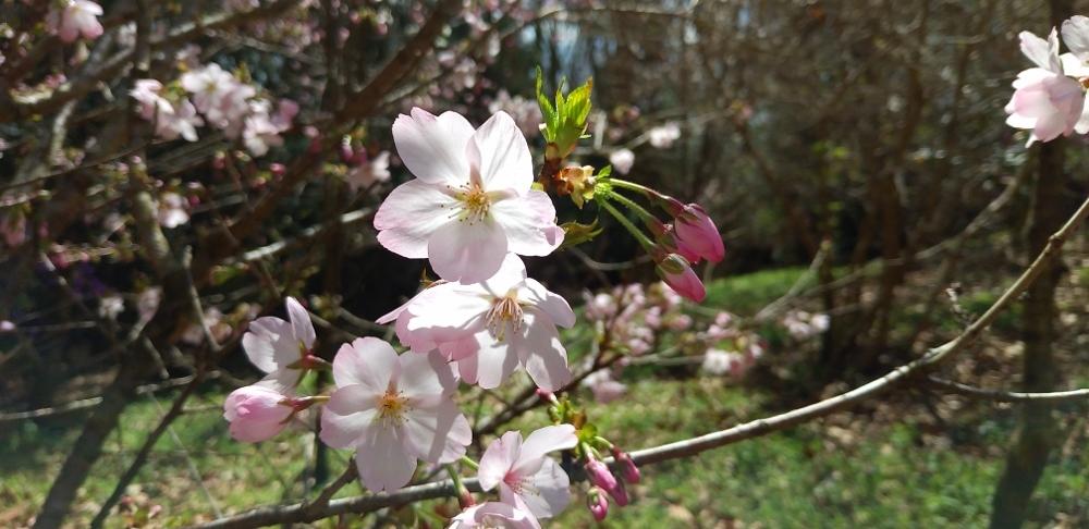 御殿場桜 (1000x486)