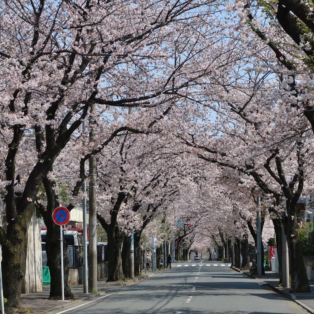 桜通り (1000x1000)