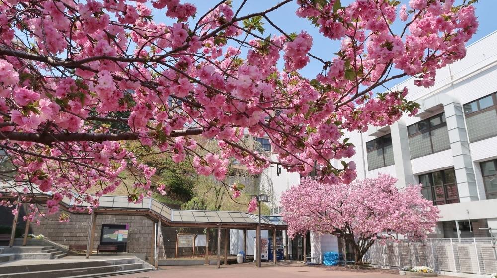 國學院サトザクラ (1000x561)