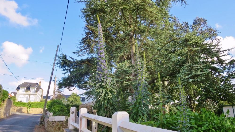 Echium Pininana (1000x563)