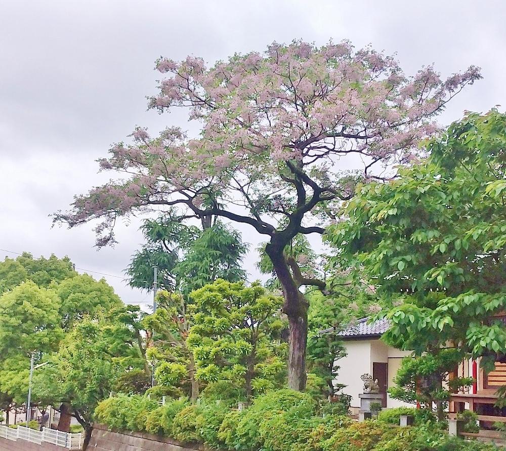 御嶽神社の栴檀 (1000x891)