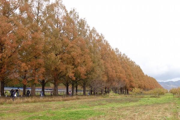 メタセコイア並木の紅葉 (滋賀県)
