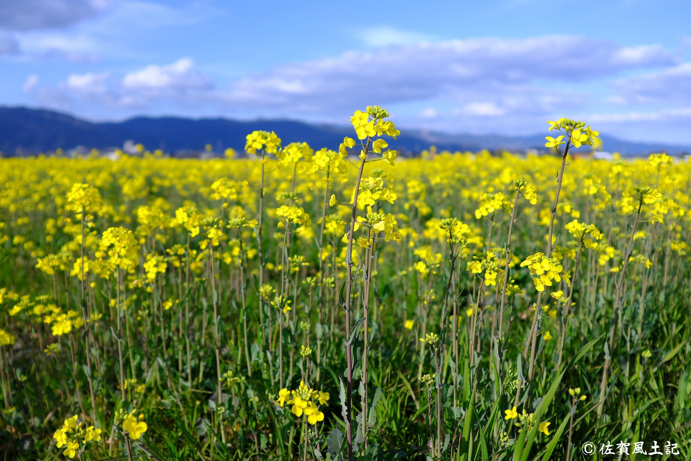 金立菜の花