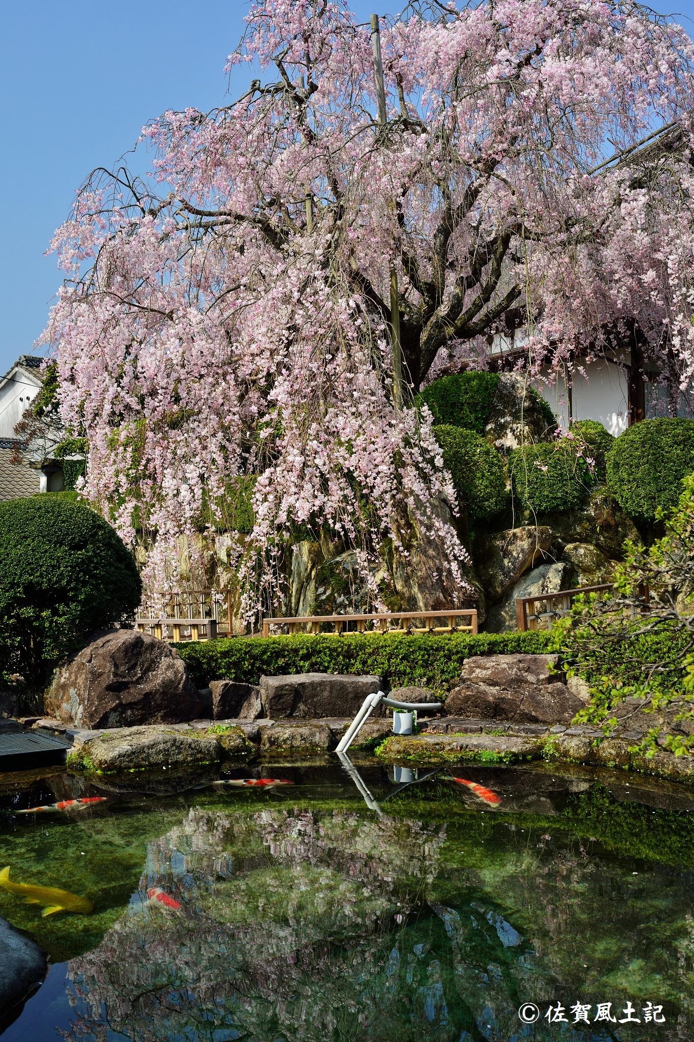 柿右衛門窯桜