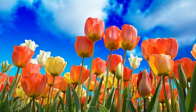 tulips-3251607_640.jpg